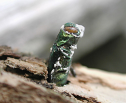 Emerging from the trunk of an ash tree, an emerald ash borer is infected with Beauveria bassiana, an insect-pathogenic fungus that may prove to be a valuable biocontrol for this pest: Click here for photo caption.