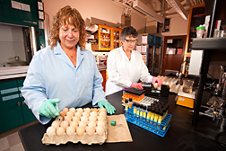 Microbiologist (left) inoculates chicken embryos in tests to determine the virulence of bacteria as technician uses a digital egg monitor to determine embryo viability: Click here for full photo caption.