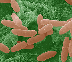 Colorized SEM (scanning electron micrograph) of pathogenic E. coli on a lettuce leaf. Image is shown at about 16,000 times normal size: Click here for photo caption.