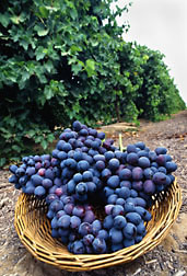 An ARS-developed seedless grape variety, Autumn Royal: Click here for full photo caption.