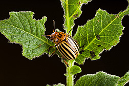 Adult Colorado potato beetle on a potato plant: Click here for full photo caption.