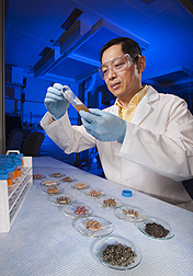 Chemist Pei Chen prepares extracts from teas and tea-based dietary supplements to study differences in phytochemicals (health-protecting compounds) in the two forms of tea: Click here for photo caption.