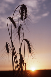 Wheat seed heads: Click here for photo caption.