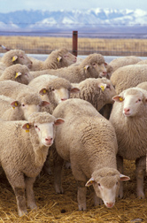 Photo: Flock of sheep. Link to photo information