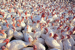 Turkeys: Click here for photo caption.