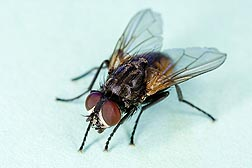 Common house fly, Musca domestica: Click here for photo caption.