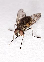 Stable fly, Stomoxys calcitrans: Click here for photo caption.