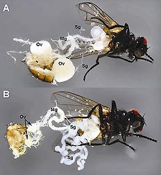 Comparison of a healthy fly (A) and a fly infected with SGHV (B): Click here for full photo caption.