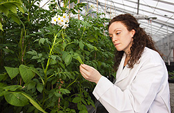 Michelle Cilia, a molecular biologist, examines infected potato plants in the greenhouse for symptoms of virus infection: Click here for full photo caption.