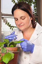 Postdoctoral associate Stacy DeBlasio injects a liquid culture of a plant-infecting bacteria into plant cells: Click here for photo caption.