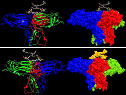 Photo: A map of a protein before and after it assembles into a larger structure that gives certain plant viruses the ability to travel from plants to insects, through the insects, and back into plants. Link to photo information