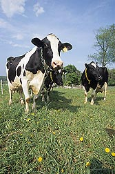 ARS scientists at Ames, Iowa, have discovered a specific antibody that will help develop a test for the Johne's disease bacterium in cattle: Click here for photo caption.