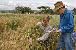 At a nursery in Njoro, Kenya, ARS plant pathologists Matt Rouse and Yue Jin score wheat plants for their responses to infection with Ug99 rust: Click here for full photo caption.