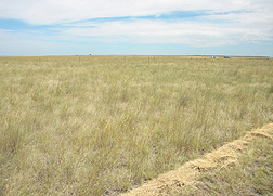 This research plot in Miles City, Montana, is made up of about 75 percent purple threeawn plants: Click here for full photo caption.