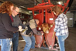 At the U.S. Meat Animal Research Center in Clay Center, Nebraska, geneticists Tara McDaneld and Larry Kuehn (left) look for and record variations in data while molecular biologist John Keele and technician Tammy Sorensen take blood samples for DNA pooling: Click here for photo caption.