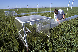Plant physiologist Richard Garcia adjusts a field chamber for measuring photosynthesis. Click here for full photo caption.