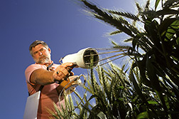 Technician Ric Rokey takes the temperature of a wheat leaf. Click here for full photo caption.