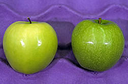Calcium-treated apple and an untreated apple. Click here for full photo caption.