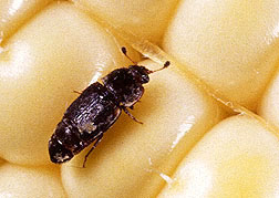 Close-up of sap beetle on ripe corn kernels