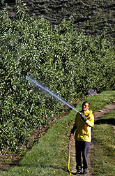 Technician applies calcium spray to Granny Smith apples.