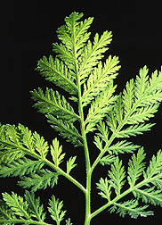Annual wormwood for antimalarial drug.