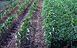 Weeds in corn at left have been treated with herbicide.