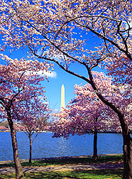 Cherry trees from Japan ring the Tidal Basin at Washington, D.C. Click here for full photo caption.
