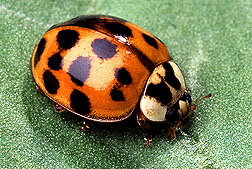 Harmonia axyridis: Link to photo information