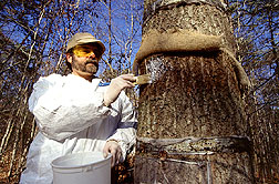Entomologist applies an insecticidal latex coating that will kill gypsy moth larvae. Click here for full photo caption.