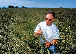 Forage specialist examines tall fescue in a test plot. Click here for full photo caption.