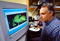 A geneticist examines digital photomicrographs of Caribbean fruit flies. Click here for full photo caption.
