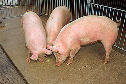Photo: Three pigs in a pen. Link to photo information