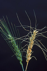 A healthy wheat head (left) stands in contrast to one showing severe symptoms of Fusarium head blight disease (right). Link to photo information.