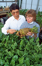 Geneticist Ming Yu and technician Linda Pakish examine a sugar beet damaged by root-knot nematodes. Link to photo information.