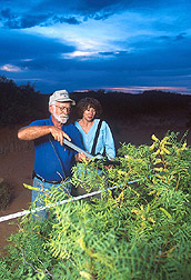 Two soil scientists measure leaf area of mesquite: Click here for full photo caption.