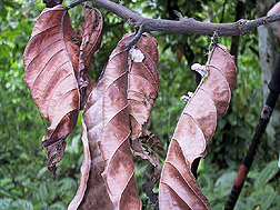 Branch of a cacao tree killed by witches' broom disease: Click here for full photo caption.