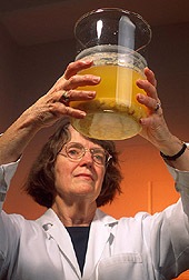 Chemist examines corn that has been cooked in water and lime: Click here for full photo caption.