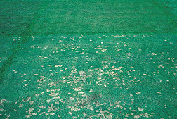 Large area of creeping bentgrass with a small area of dollar spot disease on it: Click here for full photo caption.