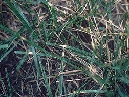 Close-up of dollar spot damage on Kentucky bluegrass: Click here for photo caption.