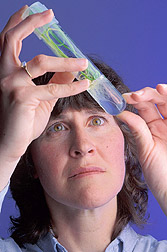 Photo: Plant geneticist Ann Blechl holds a wheat plantlet into which she has moved new, experimental genes. Link to photo information