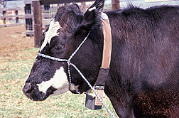Photo: Cow equipped with a GPS collar, used to track the location of the animal. Link to photo information