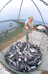 A fish farmer guides a basket containing 2,000 pounds of catfish into a truck for transport to a processing plant. Link to photo information