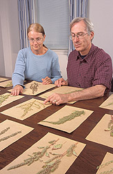 Two plant physiologists examine pigweed, Amaranthus, seedheads: Click here for full photo caption.