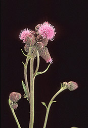 Flower head of Canada thistle, Cirsium arvense: Click here for full photo caption.