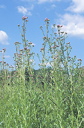 A patch of Canada thistle, Cirsium arvense: Click here for full photo caption.