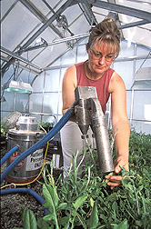 Lab assistant uses a cyclone spore collector to harvest inoculum from plants: Click here for full photo caption.