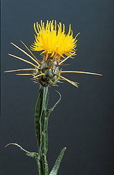 Yellow starthistle: Click here for photo caption.