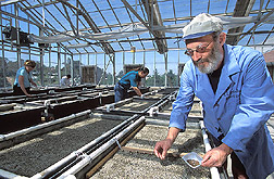 Technician prepares a greenhouse sand tank to receive plantings: Click here for full photo caption.