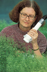 Plant molecular geneticist uses a vacuum to collect pollen from Arabidopsis plants: Click here for full photo caption.
