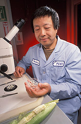 Postdoctoral fellow prepares to dissect embryo sacs from within corn kernel ovules: Click here for full photo caption.